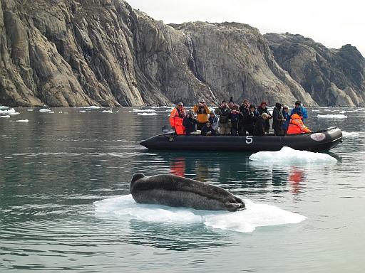 Robbe an Grönlands Küste