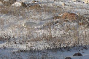 Polarfuchs in der Umgebung von Churchill
