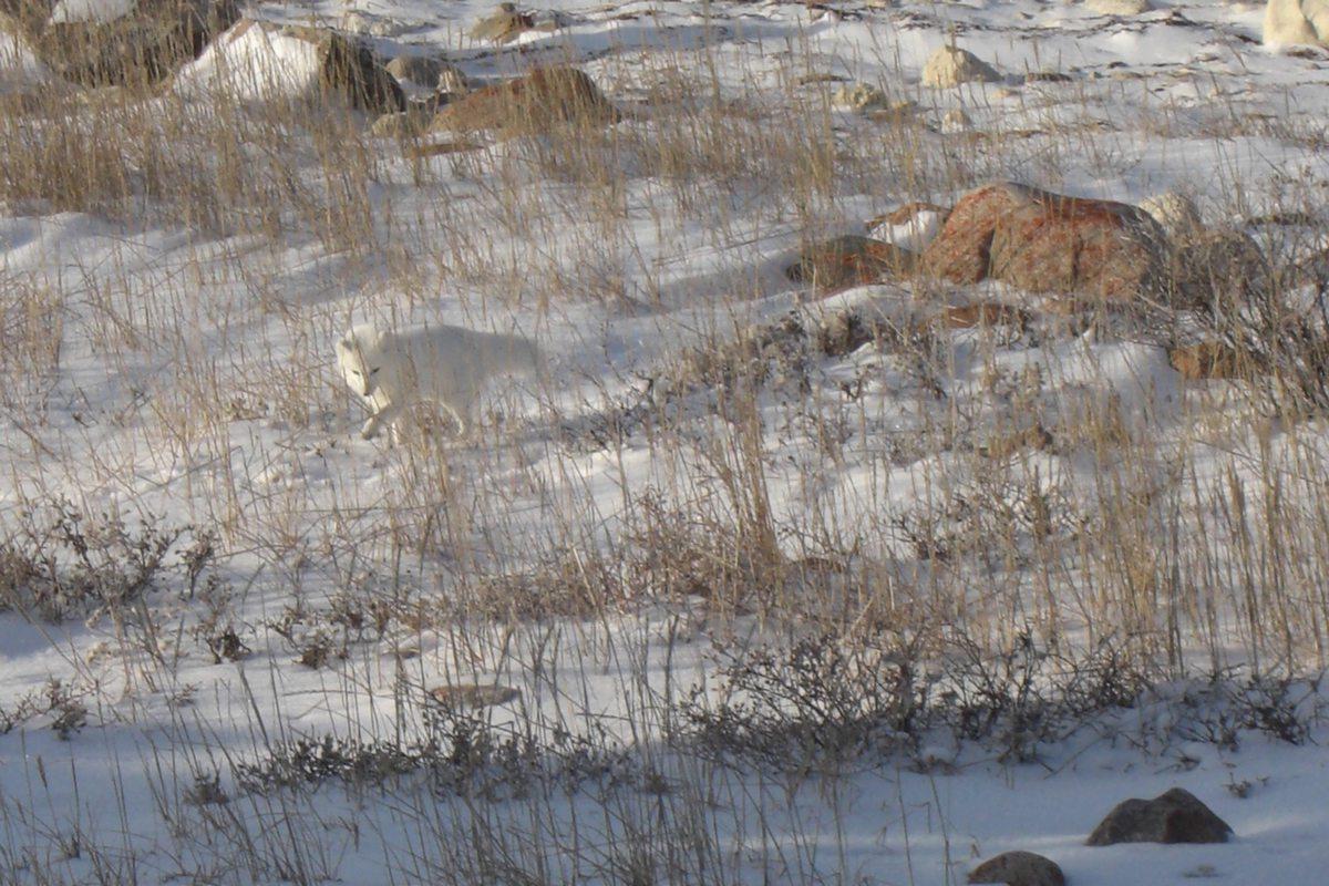 Polarfuchs in der Umgebung von Churchill, einem Ort in der kanadischen Provinz Manitoba.