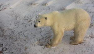 Bären in Churchill
