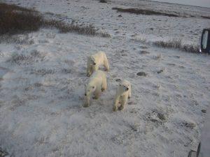 Eisbärenmutter mit ihren Jungen in Churchill