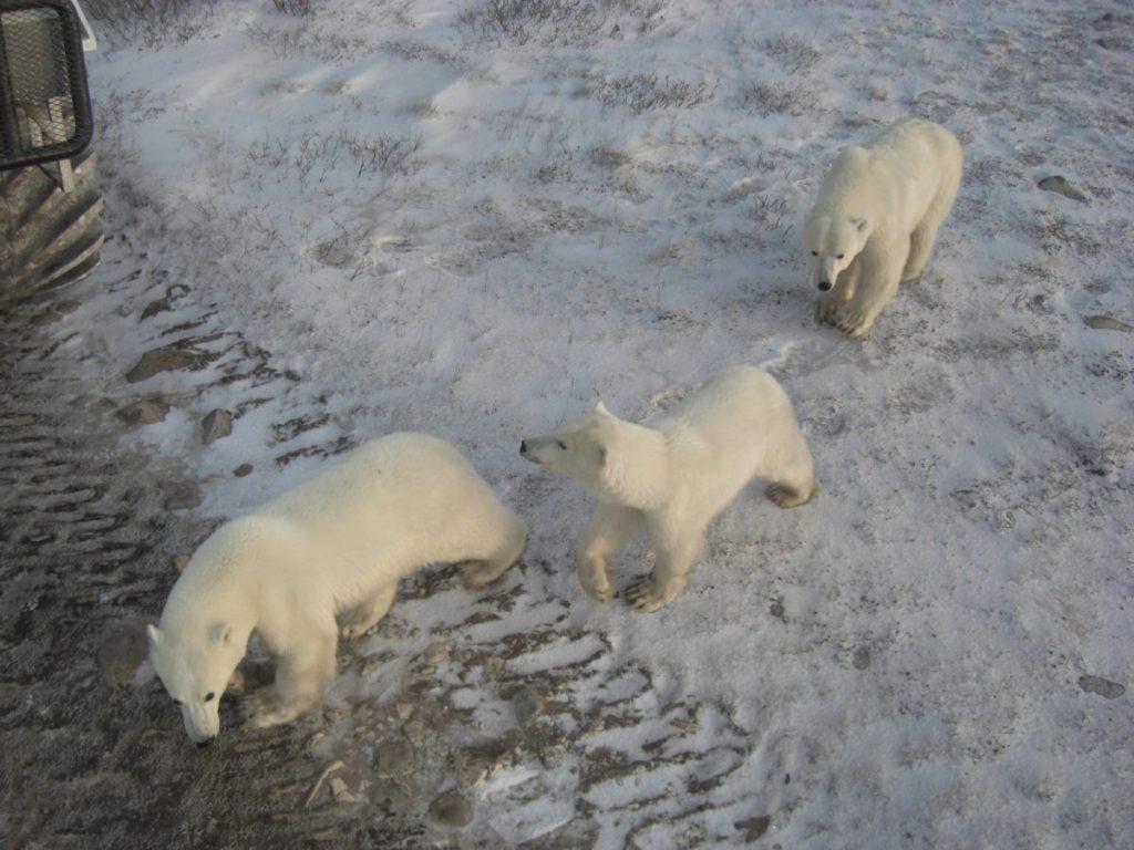 Bären in Churchill, einem Ort in der kanadischen Provinz Manitoba.