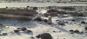 Eisbären in Churchill KANADA