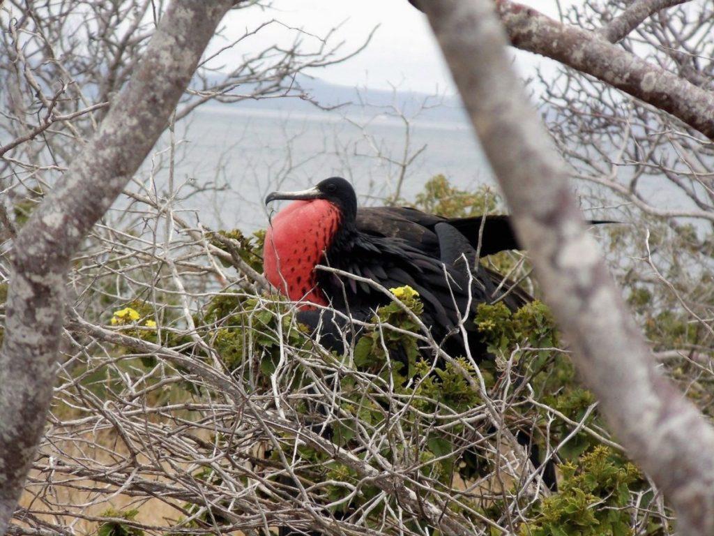 Fregattvogel auf einer Galapagos-Insel, Ecuador