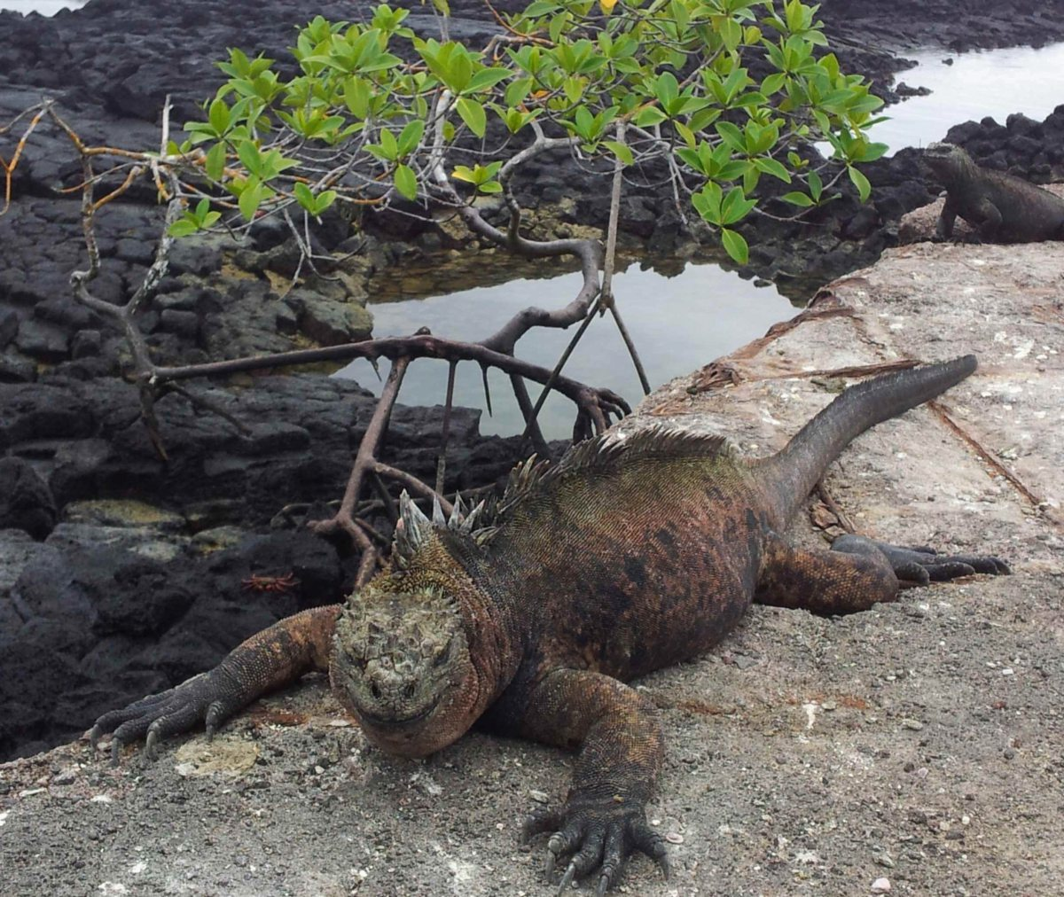 Echsen im Naturparadies Galapagos, Ecuador