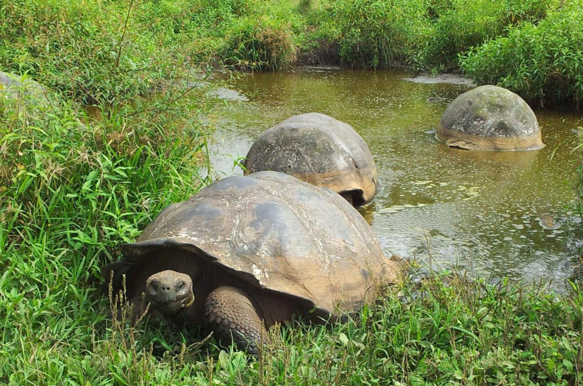 Riesen-Schildkröten auf Galapagos, Ecuador