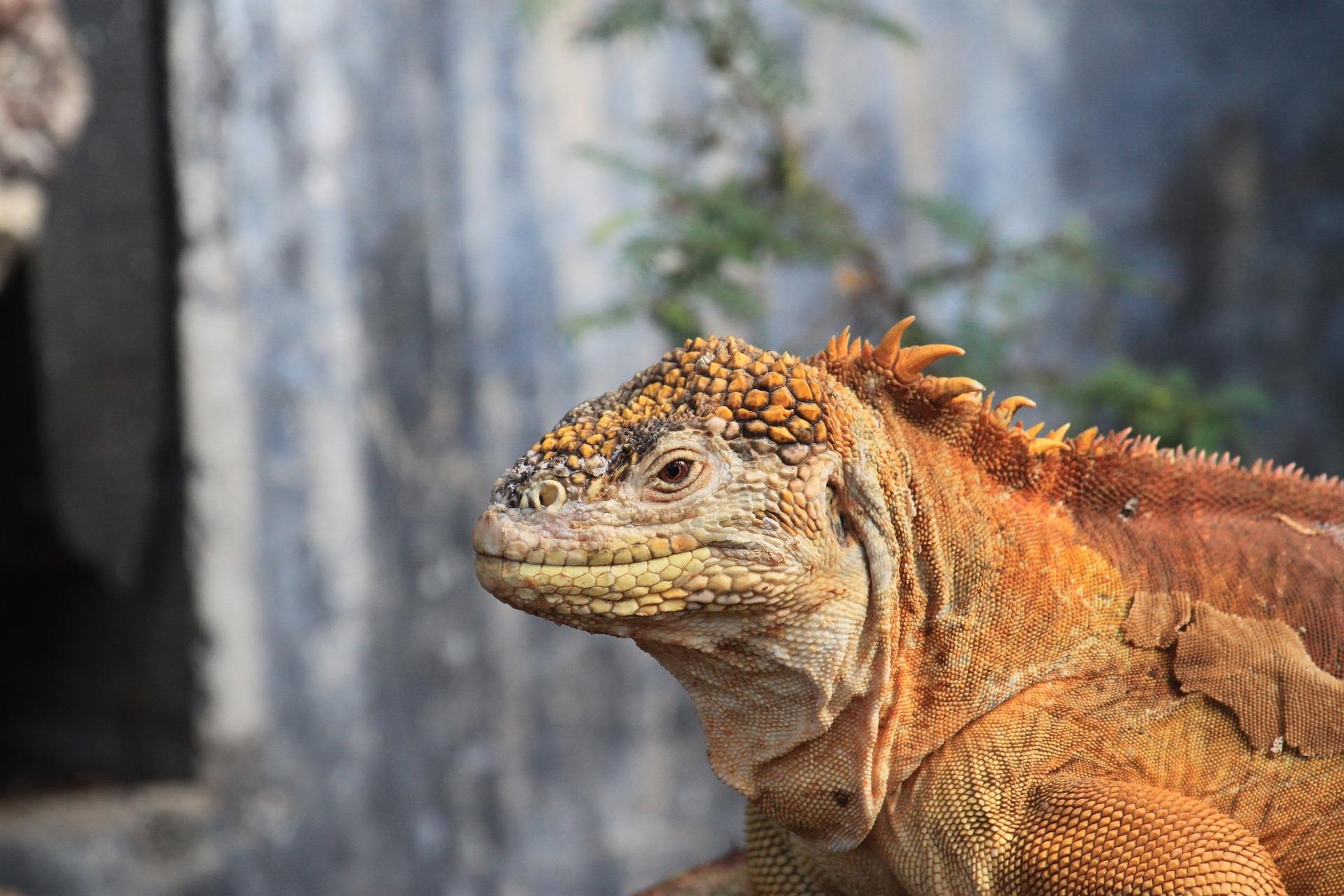 Landleguan auf Galapagos