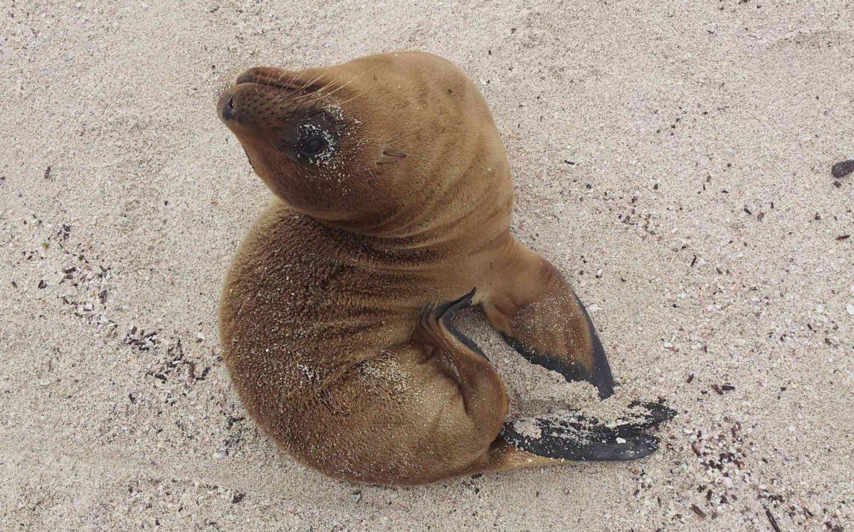 Seelöwenjunges auf Galapagos