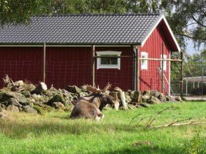 Elchhfarm in Schweden