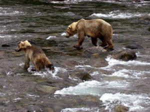 Ein Bär beim Lachfang