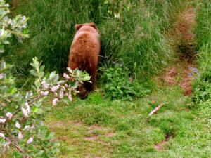 Bär im Unterholz, Katmai-Nationalpark