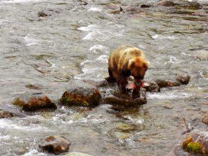 Ein Bär im Nationalpark Katmai in Alaska