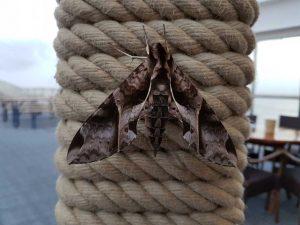 Amazonas-Schmetterling