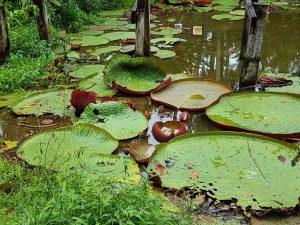Riesenseerose am Amazonas