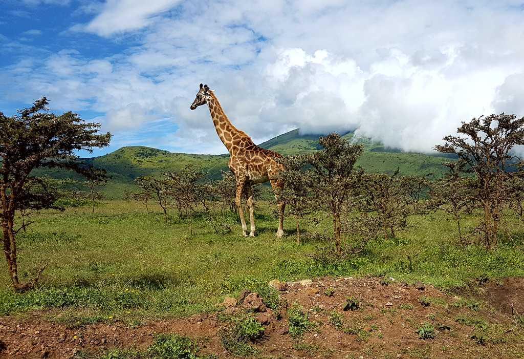 Giraffen im Krater-Hochland des Ngorongoro, Tansania