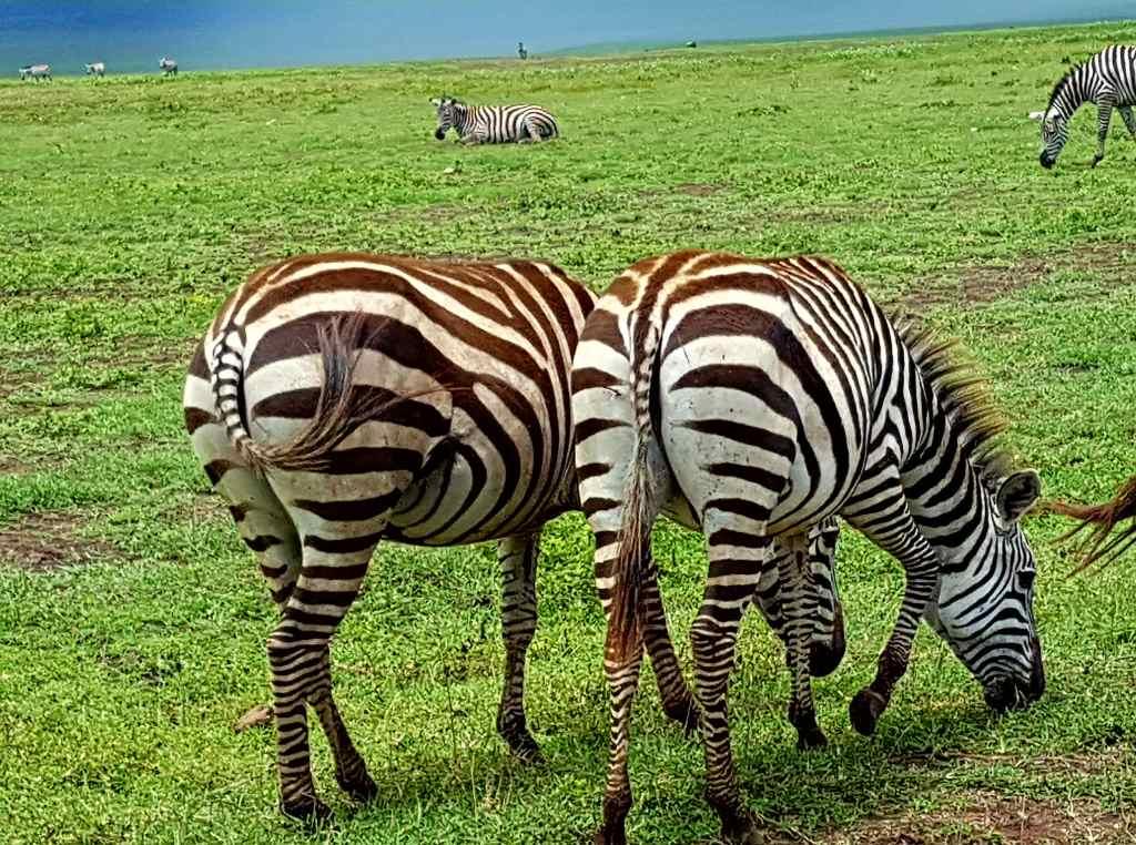 Zebras im Nationalpark Ngorongoro, Tansania