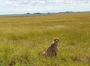 Gepard im Nationalpark Serengeti, Tansania