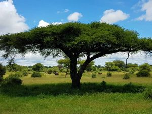 """ein Baobabbaum in tansanischen Tarangire-Nationalpark am """"Northern Circuit"""""""