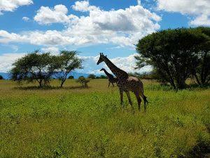 """Giraffen im Tarangire-Nationalpark, der zum """"Northern Circuit"""" in Tansania gehört."""