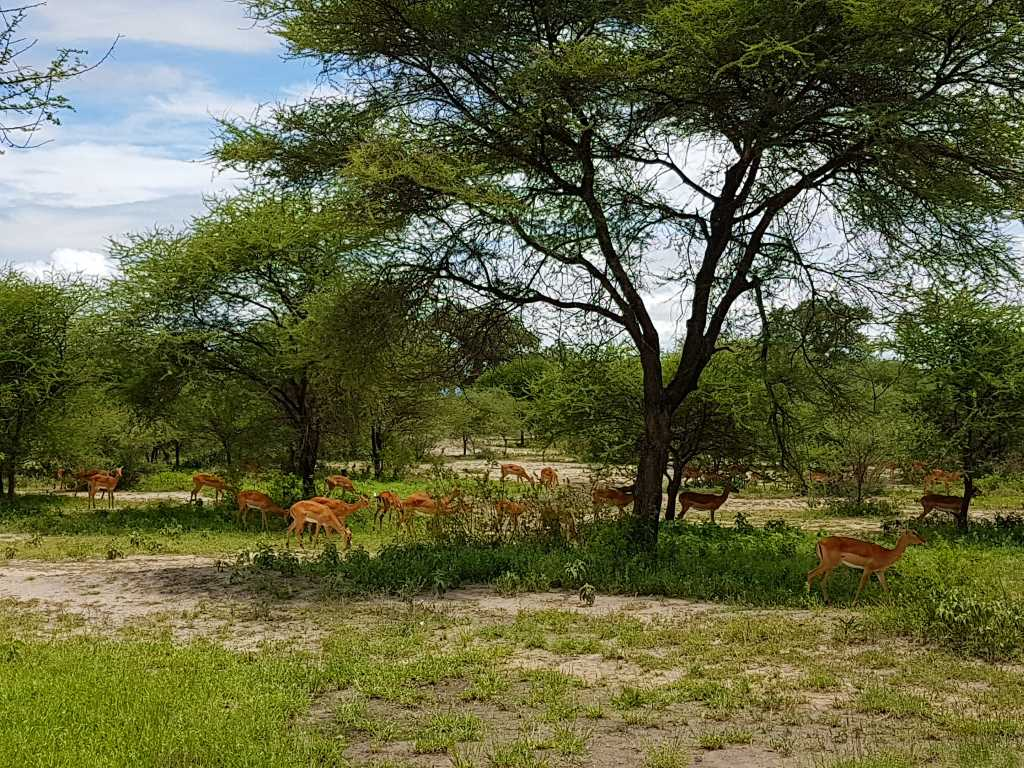 Impalas im Tarangire-Nationalpark in Tansania