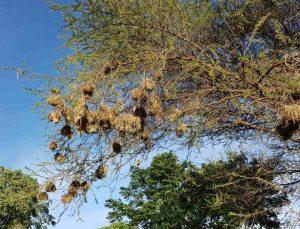 Webervögelnester an einem Baum in Tansania