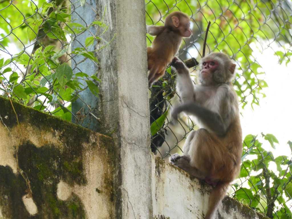 Affenhorde auf den Straßen von Darjeeling in Indien