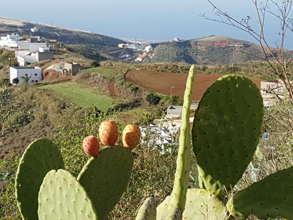 Opuntien im Hinterland der Kanareninsel Gran Canaria, Spanien