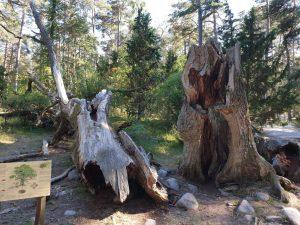 Naturschutzgebiet Trollskogen im Nordosten der schwedischen Insel Öland.
