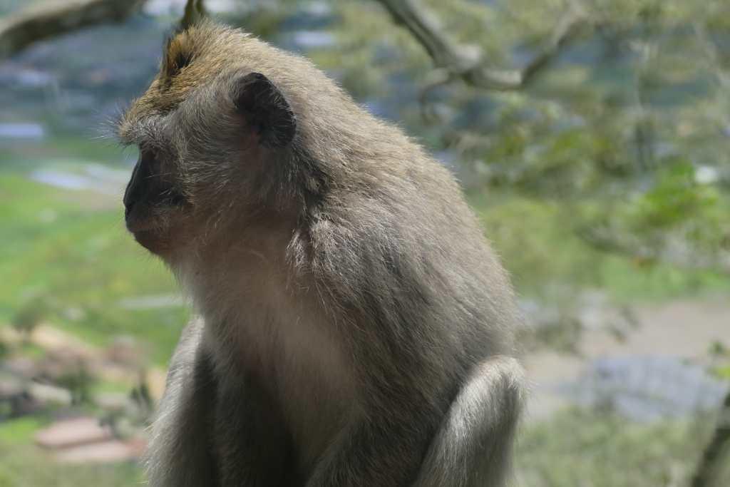 Affen auf der Insel Bali
