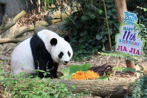 Panda im Zoo von Singapur