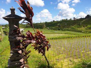 Opferschreine finden sich in fast jedem Reisfeld. auf Bali