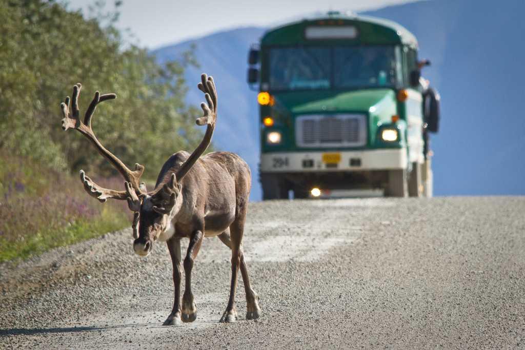 Wer Elche im Denali-Nationalpark antreffen möchte, braucht ein wenig Glück.