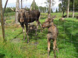 Begegnung mit dem Herrscher des Waldes - zu erleben in einem der Elchparks Smålands.