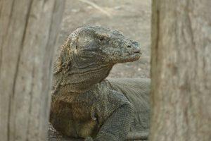 ein Waran auf der indonesischen Insel Komodo