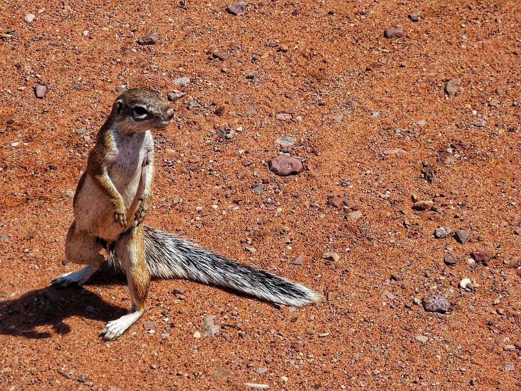 Erdmännchen im Etosha-Nationalpark in Namibia