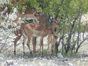 Springböcke im Etosha-Nationalpark in Namibia