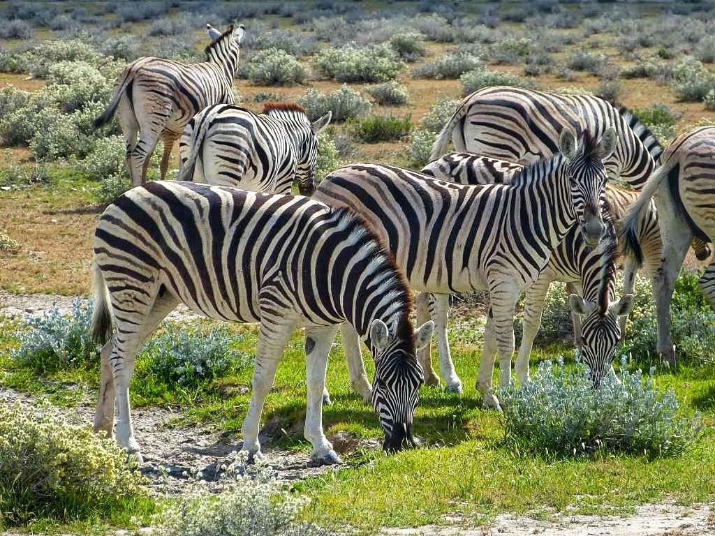 Zebras im Etosha Nationalpark In Namibia