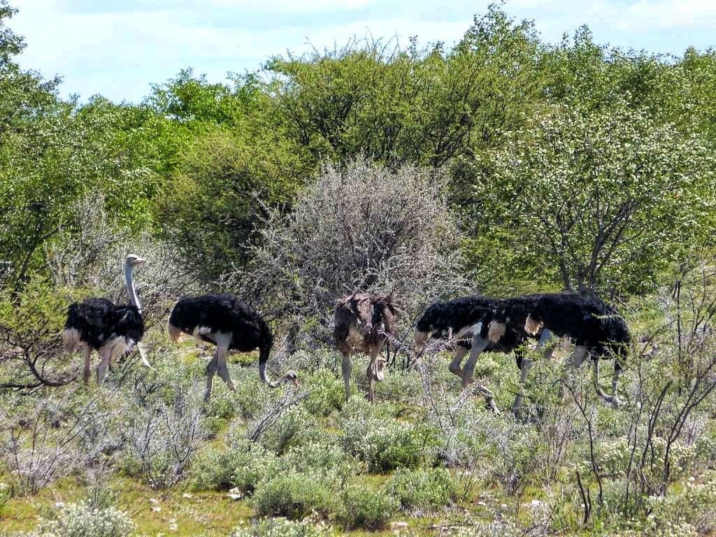 Strauße im Etosha-Nationalpark in Namibia