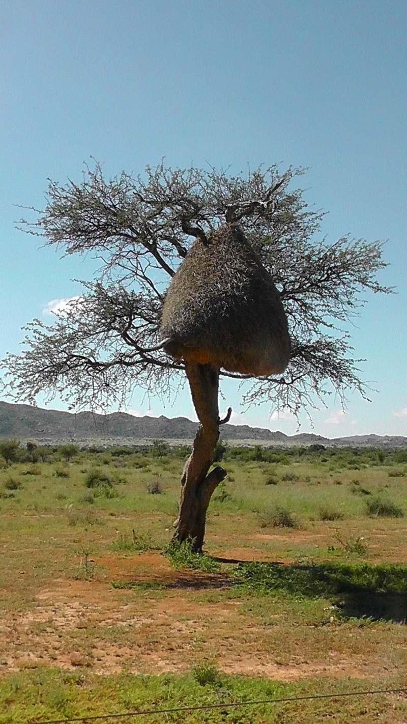 ein Webervogelnest im Etosha-Nationalpark in Namibia