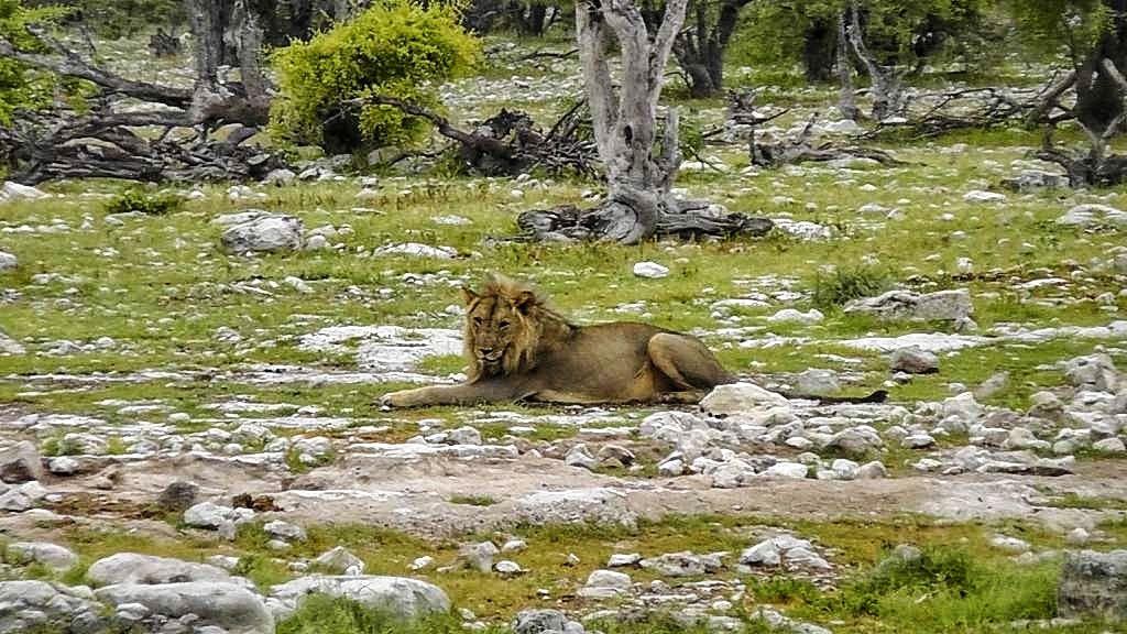Löwen im Etosha-Nationalpark in Namibia