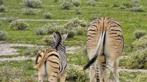 Zebras im Etosha-Nationalpark in Namibia